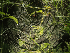Giant Wood Spiders
