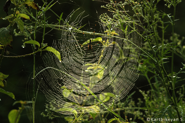 Large orb webs built by Giant Wood Spiders.
