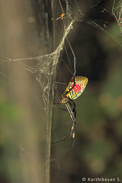 Nephila clavata - seen singly or at times in congregations of over a dozen individuals each sitting on its own web!