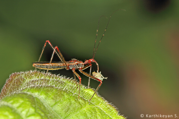The Assassin bugs are notorious as predators. They too can take a toll on aphids.