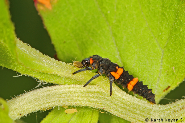 Aphids are tiny insects that feed on plant sap. If left uncontrolled, they can assume pest proportions damaging the plant. There are other insects that keep the aphids under control. The Coccinellid larvae (Ladybird beetle larvae) are predators and play an important role in this process.