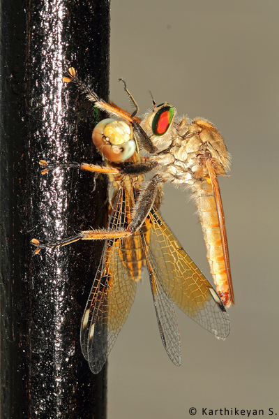 A dragonfly, a predator itself, also at times can be beaten at its own game by the robberflies.