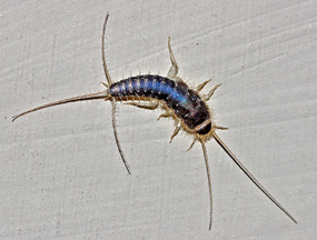 Silverfish – the bookworm!