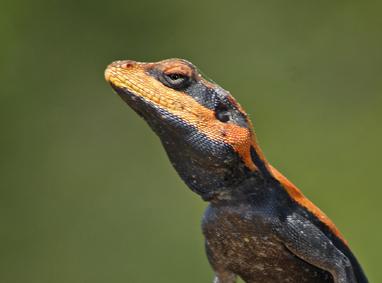 Displaying Lizards